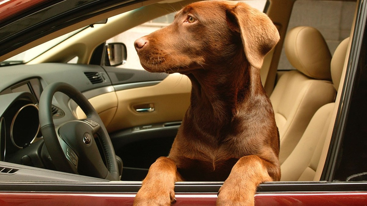 hund_dog-in-a-car_anicura.jpg