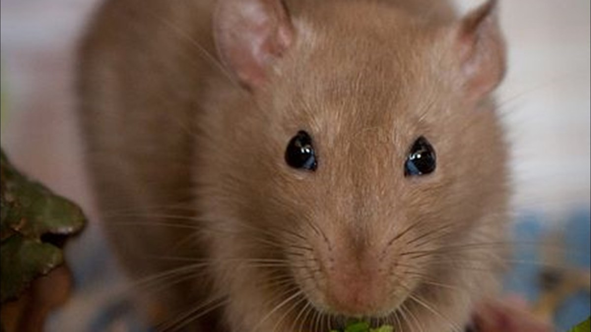 rotte_451px-Pet_rat_eating_salad_leaves_Vadim Tolbatov_wikimedia.jpg