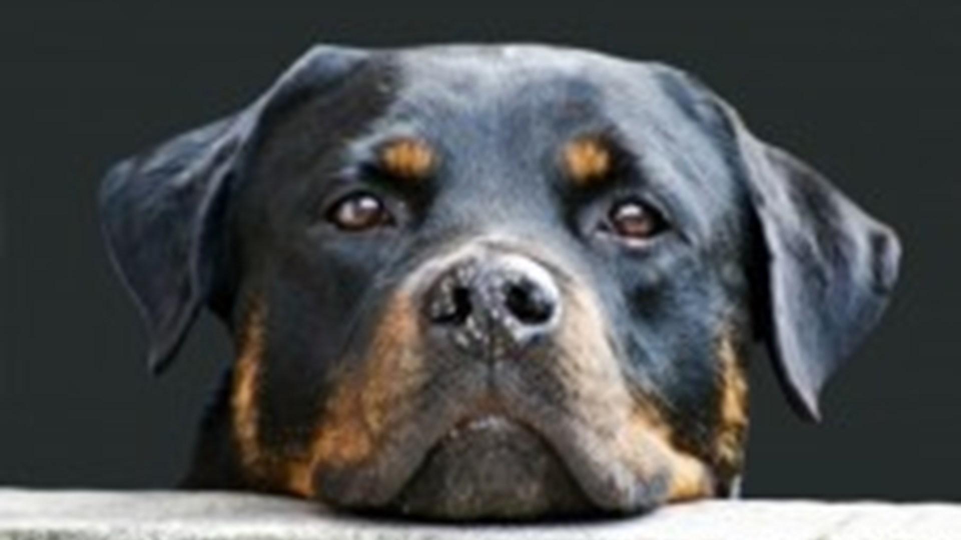 Flått Hos Hund