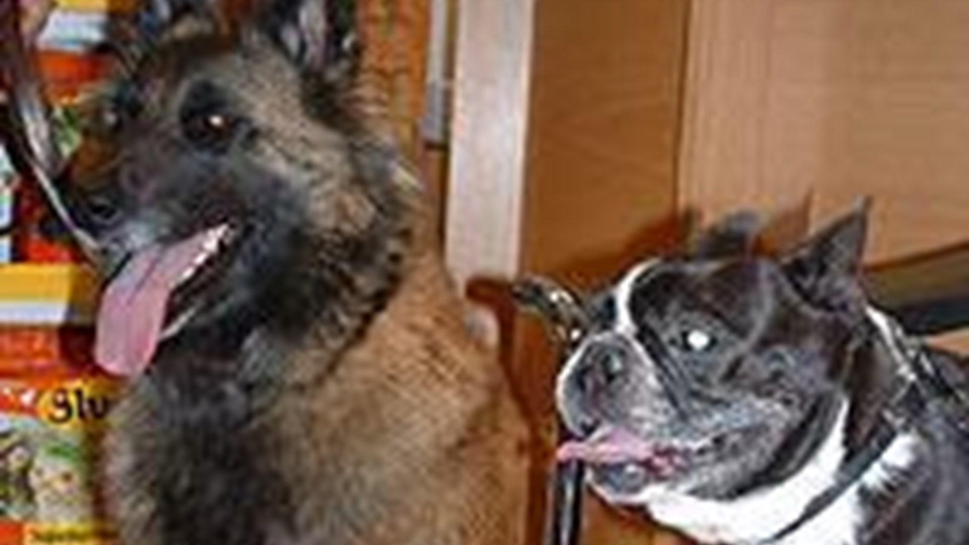 grå stær hund operasjon pris