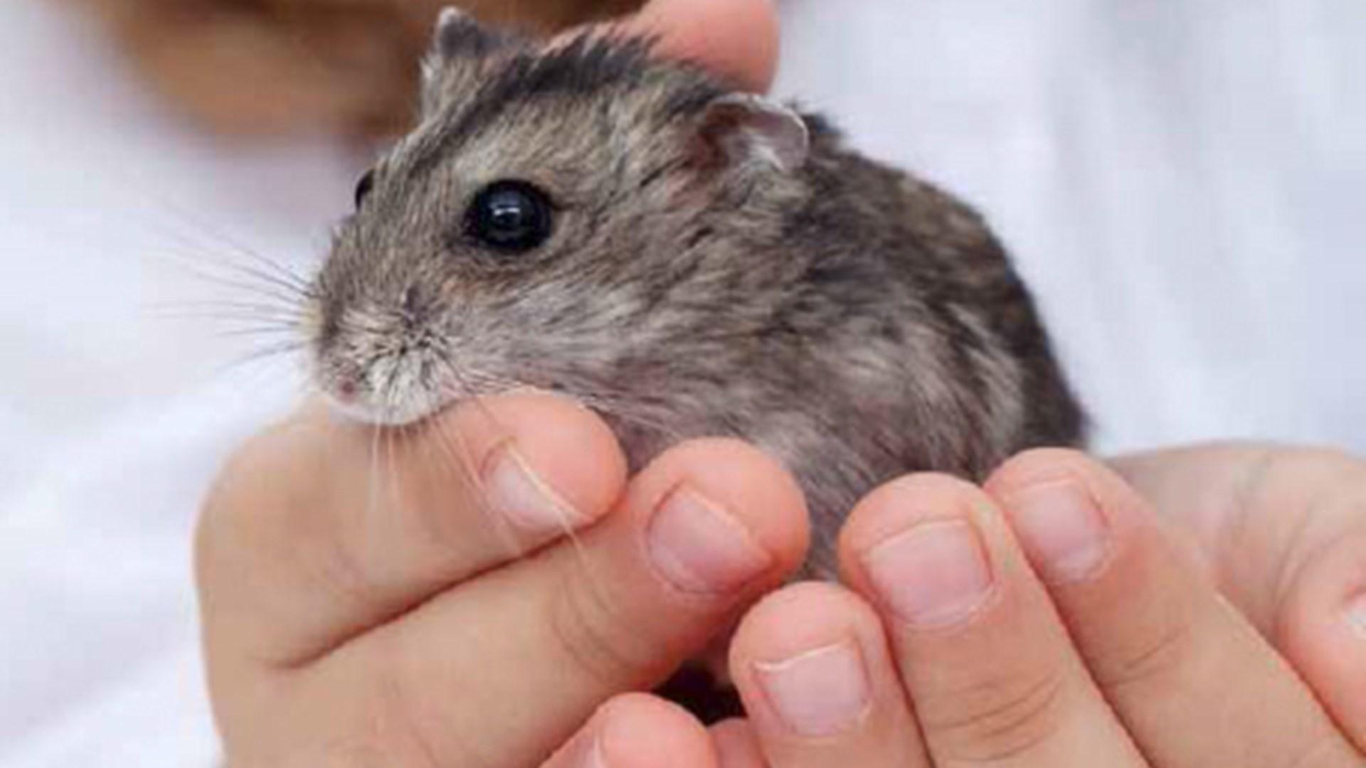 hva kan hamster spise