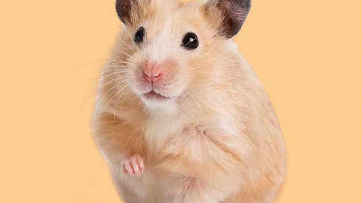 Hamster Porn No Bullshit