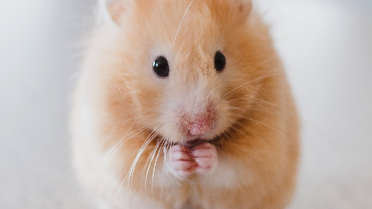 Unsplash_hamster_photo-1425082661705-1834bfd09dca_kvadrat.jpg